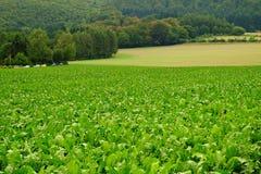Campo verde con il raccolto Immagini Stock Libere da Diritti