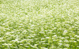 Campo verde con las flores blancas Fotografía de archivo