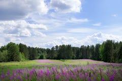Campo verde con las flores púrpuras brillantes de la sally-floración Foto de archivo libre de regalías