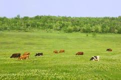 Campo verde con le mucche fotografia stock