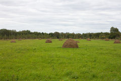 Campo verde con los grupos del heno Aljofife, agrícola para el pienso, campo de Ucrania Foto de archivo
