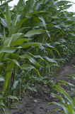 Campo verde con maíz Imagen de archivo