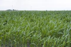 Campo verde con maíz Fotografía de archivo