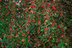 Campo verde da árvore de maçã, maçã, folhas, coalho, árvore do vermelho da natureza da maçã Fotos de Stock