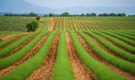 Campo verde da alfazema Imagens de Stock Royalty Free