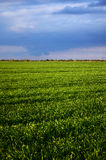 Campo verde da aveia Foto de Stock