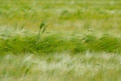 Campo verde da cevada Imagens de Stock