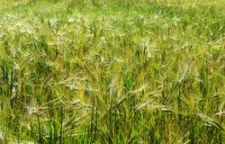 Campo verde da cevada do verão na luz solar Fotografia de Stock