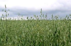 Campo verde da cevada em um dia de verão Fotografia de Stock