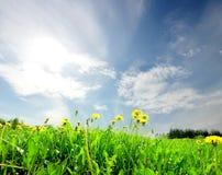 Campo verde da paisagem com dente-de-leão Imagens de Stock