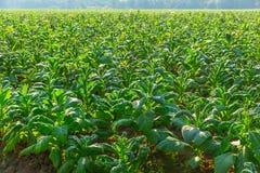 Campo verde da planta de cigarro em do norte de Tailândia foto de stock