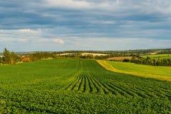Campo verde das batatas Foto de Stock