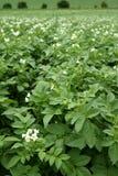 Campo verde das batatas nas flores Fotos de Stock