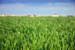 Campo verde de la avena Foto de archivo libre de regalías