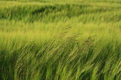 Campo verde de la cebada Fotografía de archivo