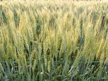 Campo verde de la cebada Imagen de archivo