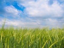 Campo verde de la cebada Foto de archivo
