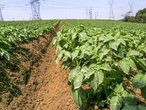 Campo verde de la patata imagen de archivo