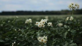 Campo verde de la patata, primer almacen de video