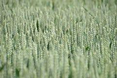 Campo verde de las cabezas del trigo imagen de archivo libre de regalías
