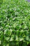 Campo verde de las verduras Fotos de archivo