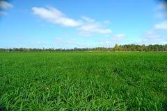 Campo verde de Rye debajo de un cielo azul Fotografía de archivo libre de regalías