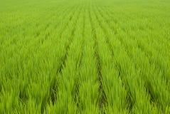 Campo verde del arroz Imagen de archivo libre de regalías