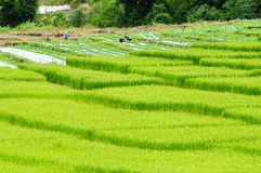 Campo verde del arroz Fotos de archivo libres de regalías
