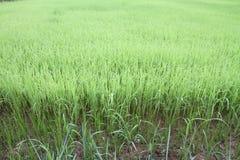 Campo verde del arroz Imagenes de archivo