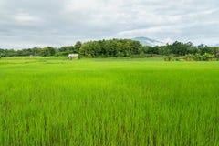 Campo verde del arroz Foto de archivo libre de regalías