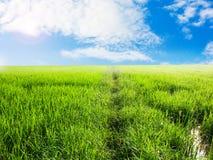 Campo verde del arroz Imagen de archivo