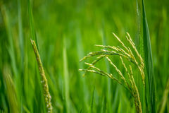 Campo verde del arroz con el fondo de la naturaleza y del cielo azul fotos de archivo