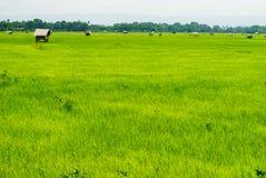 Campo verde del arroz con muchos pequeña choza en la luz del sol Fotos de archivo libres de regalías