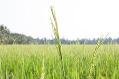 Campo verde del arroz con textura del fondo de la granja de la agricultura de la hierba verde de TAILANDIA Fotografía de archivo