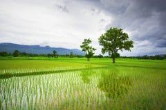 Campo verde del arroz con un contexto de la montaña Fotos de archivo libres de regalías