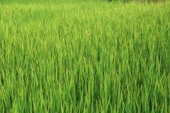 Campo verde del arroz después de la lluvia imagen de archivo libre de regalías