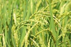 Campo verde del arroz en día soleado Imagen de archivo