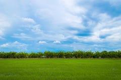 Campo verde del arroz por completo de los campos del arroz fotografía de archivo libre de regalías