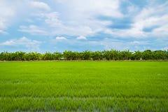 Campo verde del arroz por completo de los campos del arroz imagenes de archivo