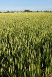 Campo verde del centeno Imagen de archivo libre de regalías