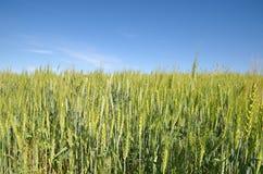 Campo verde del centeno en un fondo del cielo azul Foto de archivo libre de regalías