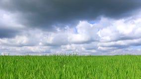 Campo verde del cereal metrajes