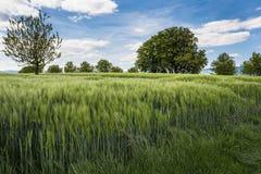 Campo verde del cereal Fotografía de archivo libre de regalías