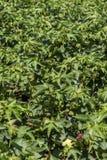 Campo verde del cotone Immagine Stock Libera da Diritti