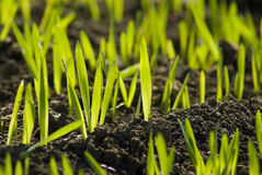 Campo verde del granjero con el crecimiento del grano