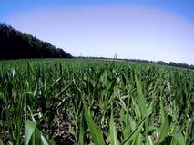 Campo verde del maíz metrajes