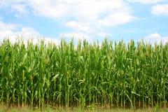 Campo verde del maíz Fotos de archivo libres de regalías