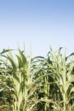 Campo verde del maíz que crece Fotografía de archivo