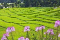 Campo verde del terrazzo del riso con i fiori rosa in priorità alta Fotografia Stock