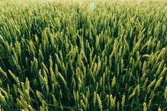 Campo verde del trigo joven Fotografía de archivo